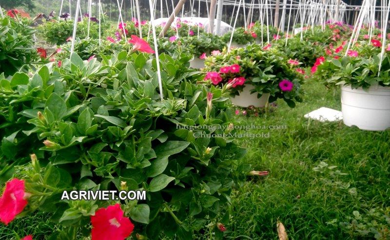 Bán sỉ lẻ hoa chậu tết trên agriviet