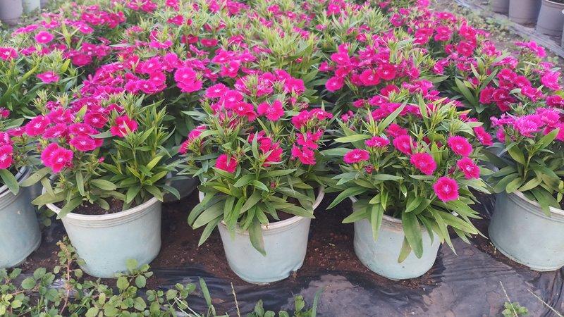 Cây Giống Hoa Cẩm Chướng(Cẩm Nhung)